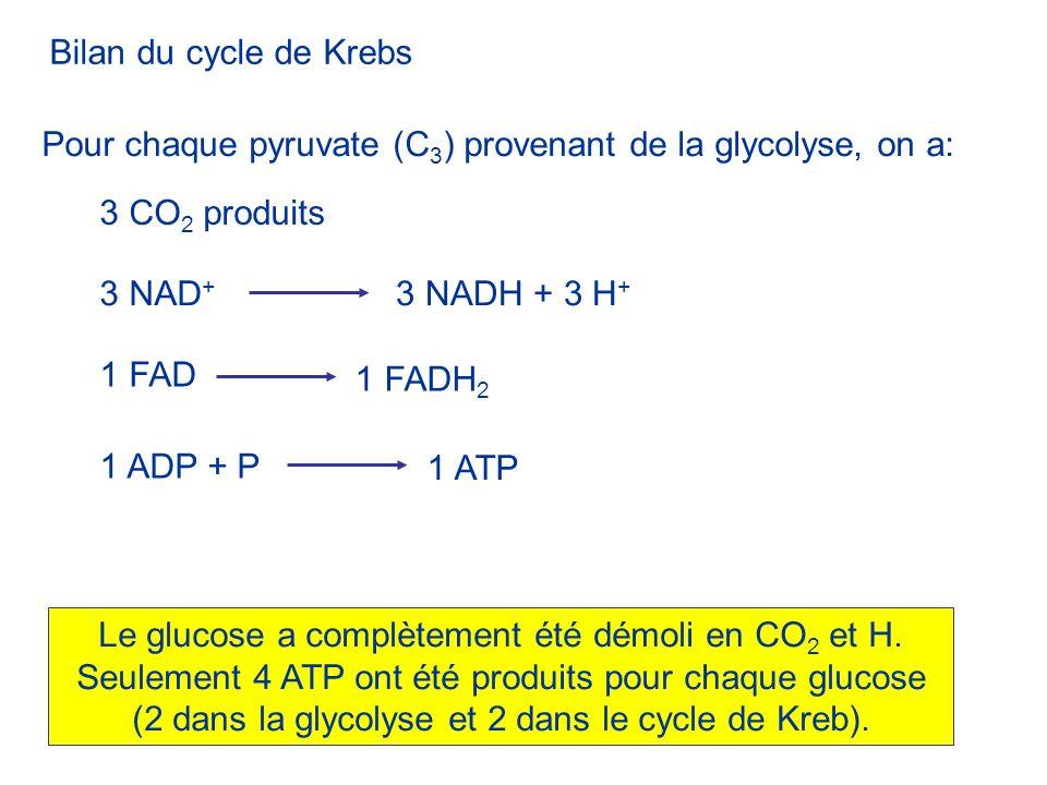 Bilan du cycle de KrebsPour chaque pyruvate (C3) provenant de la glycolyse, on a: 3 CO2 produits. 3 NAD+