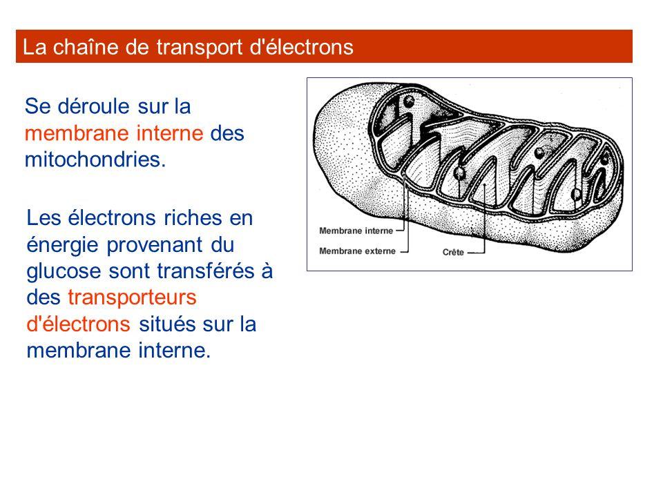 La chaîne de transport d électrons