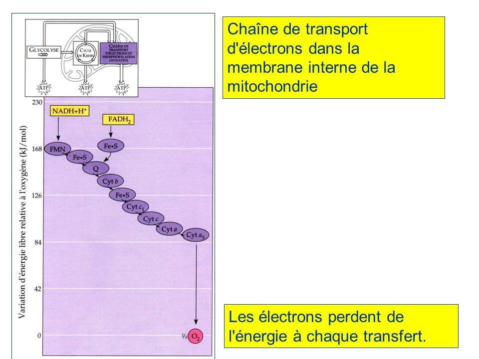 Chaîne de transport d électrons dans la membrane interne de la mitochondrie
