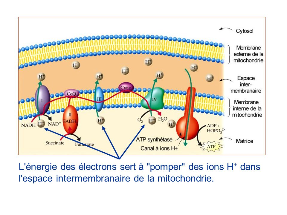 L énergie des électrons sert à pomper des ions H+ dans l espace intermembranaire de la mitochondrie.