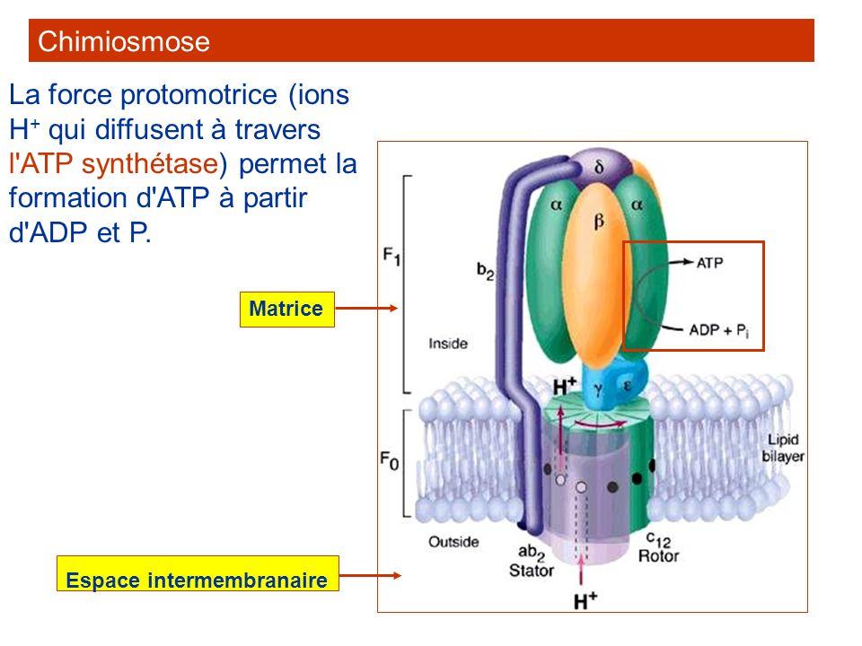 ChimiosmoseLa force protomotrice (ions H+ qui diffusent à travers l ATP synthétase) permet la formation d ATP à partir d ADP et P.