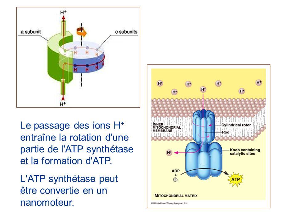 Le passage des ions H+ entraîne la rotation d une partie de l ATP synthétase et la formation d ATP.