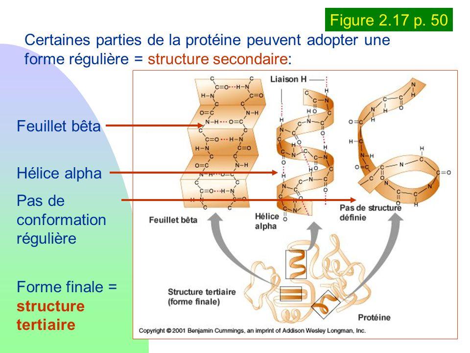 Figure 2.17 p. 50Certaines parties de la protéine peuvent adopter une forme régulière = structure secondaire: