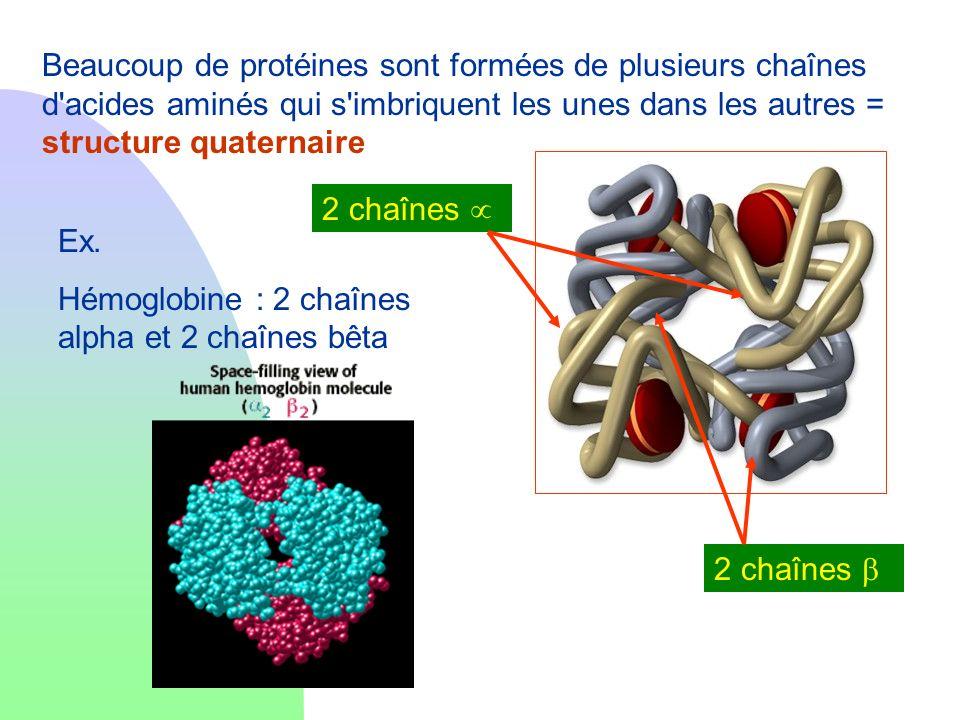 Beaucoup de protéines sont formées de plusieurs chaînes d acides aminés qui s imbriquent les unes dans les autres = structure quaternaire
