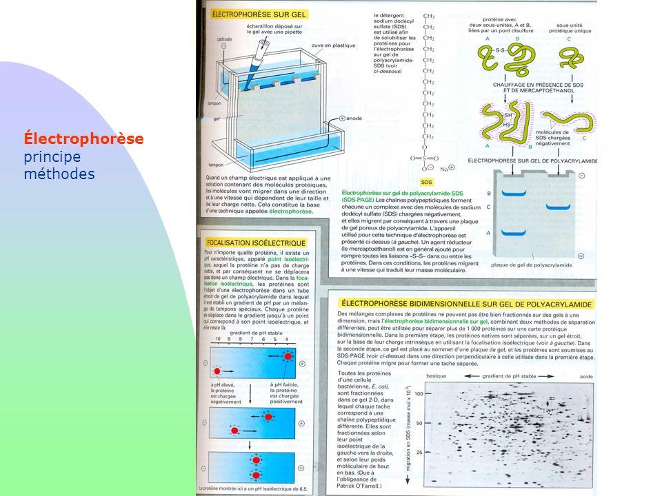Électrophorèse principe méthodes