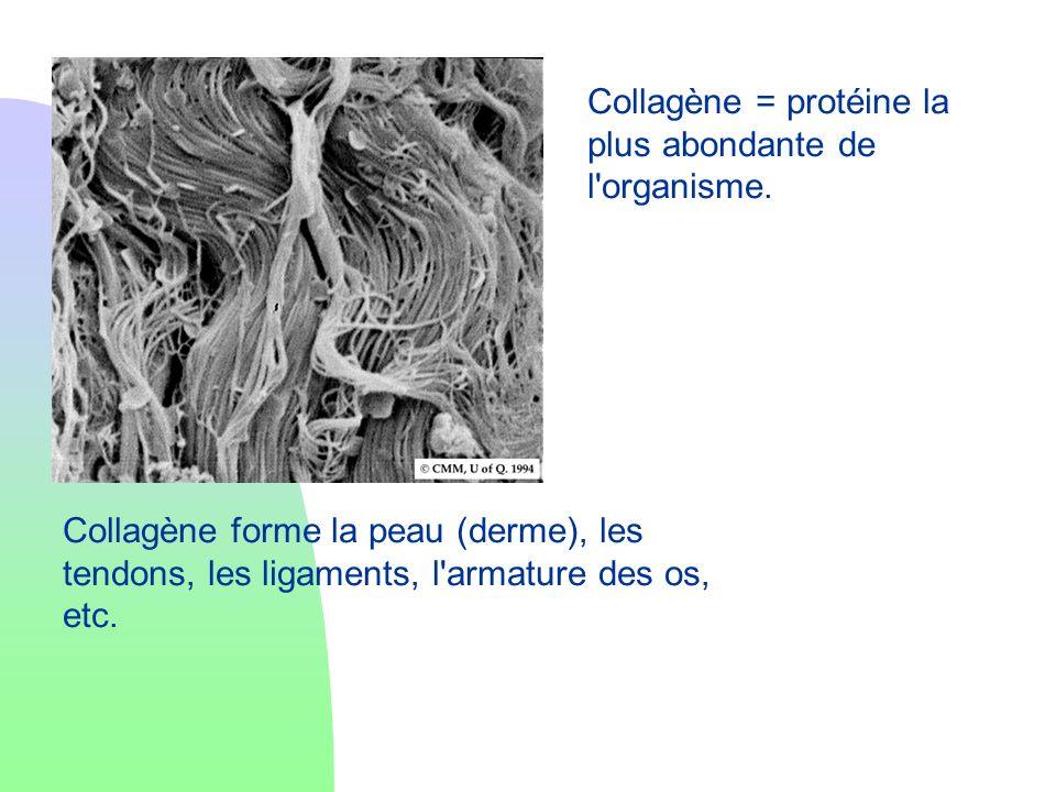 Collagène = protéine la plus abondante de l organisme.