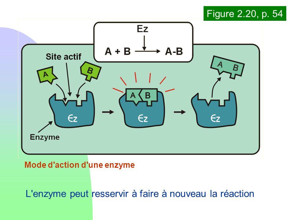 L enzyme peut resservir à faire à nouveau la réaction