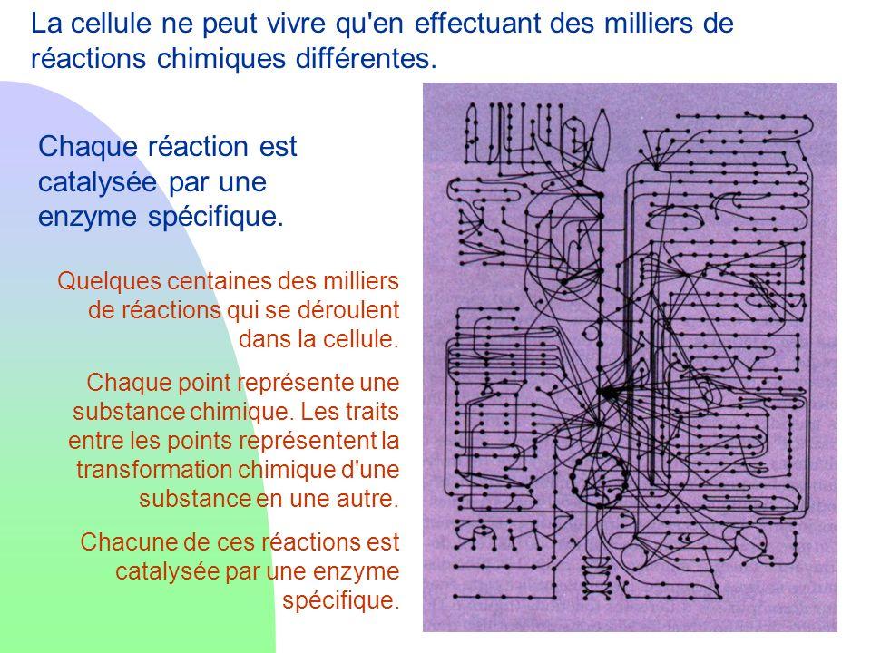 Chaque réaction est catalysée par une enzyme spécifique.