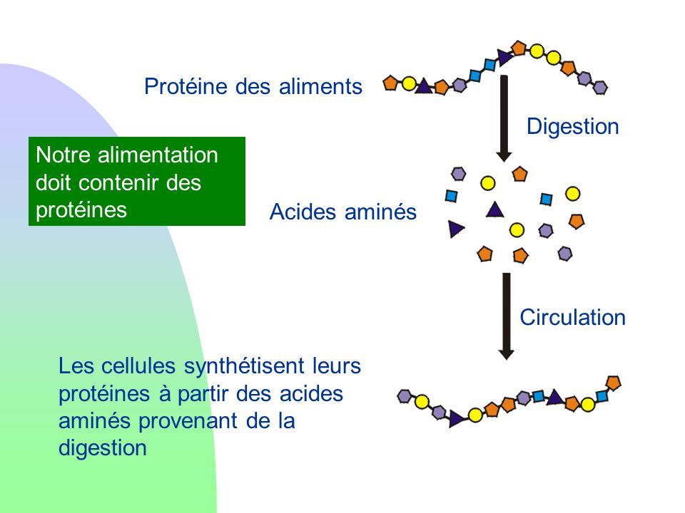Protéine des alimentsDigestion. Notre alimentation doit contenir des protéines. Acides aminés. Circulation.