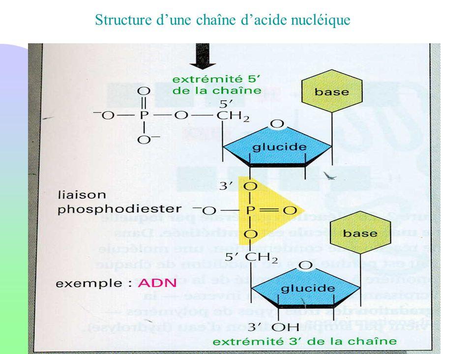 Structure d'une chaîne d'acide nucléique