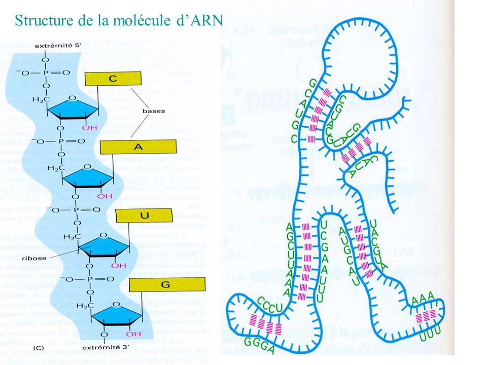 Structure de la molécule d'ARN