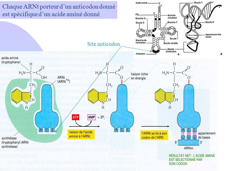 Chaque ARNt porteur d'un anticodon donné