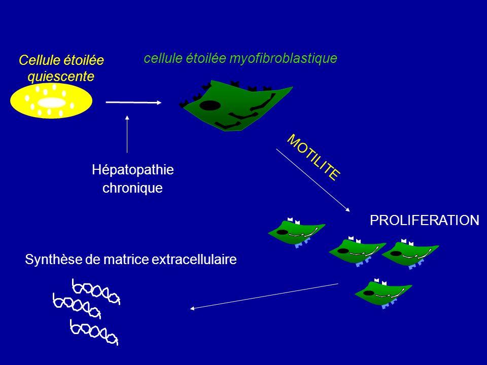 cellule étoilée myofibroblastique