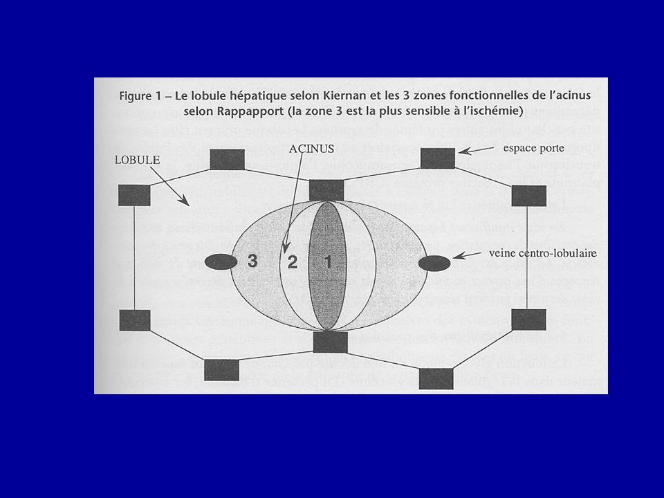 Acinus : unité fonctionnelle triangulaire entre 2 EP et2 VCL.