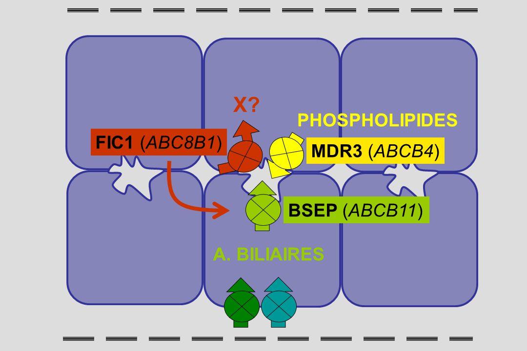 X PHOSPHOLIPIDES FIC1 (ABC8B1) MDR3 (ABCB4) BSEP (ABCB11)