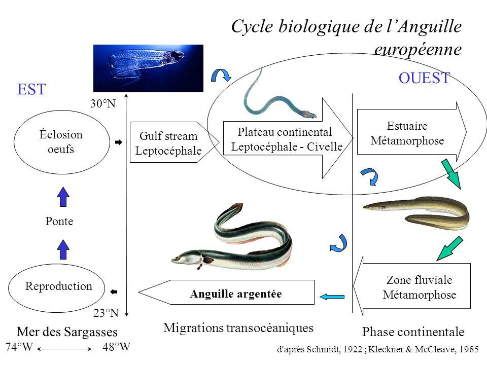 Leptocéphale - Civelle