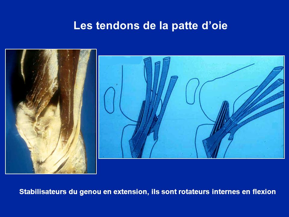 Les tendons de la patte d'oie