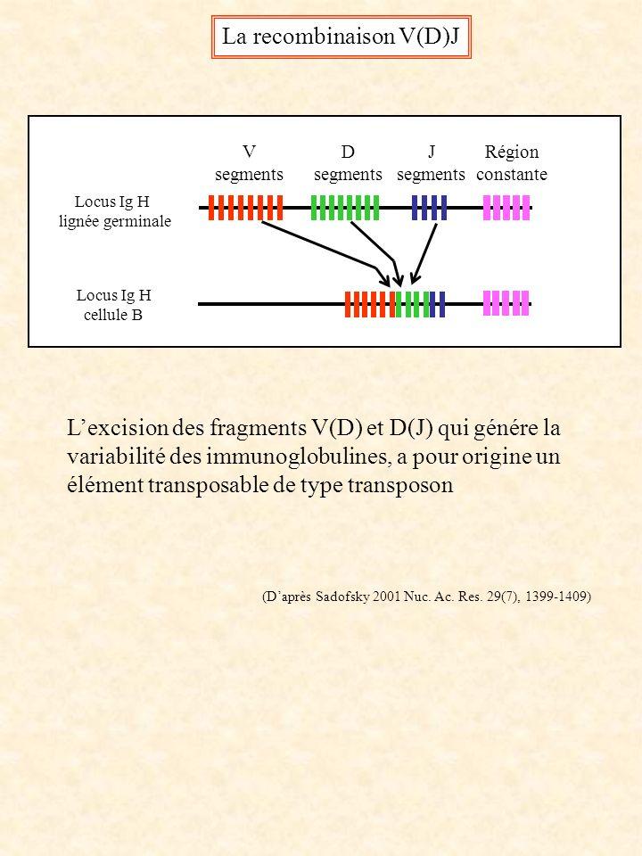 Locus Ig H lignée germinale