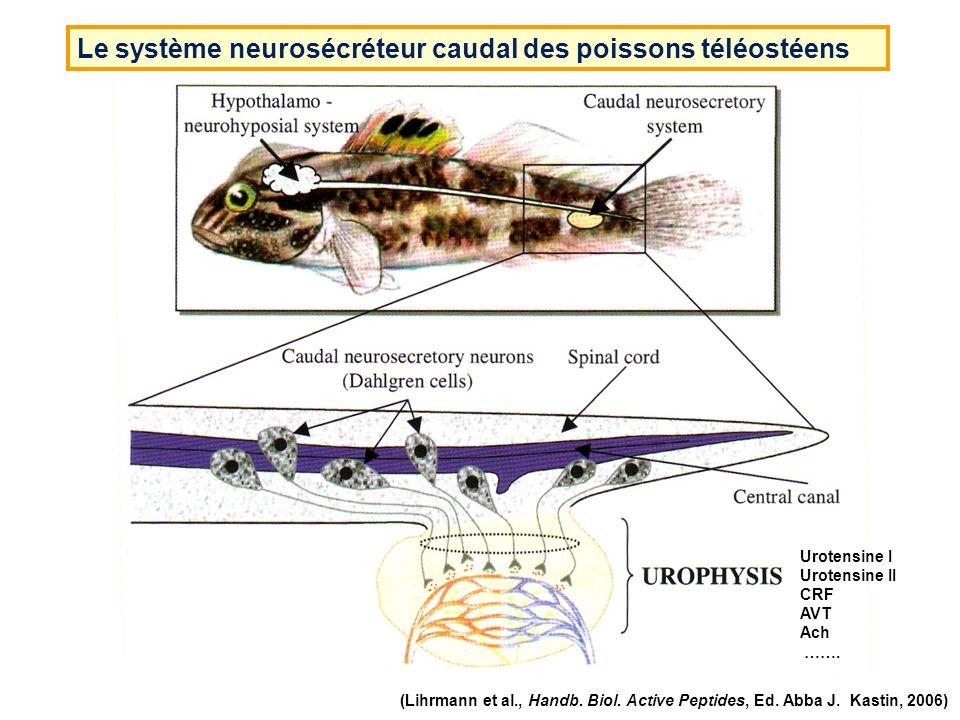 Le système neurosécréteur caudal des poissons téléostéens