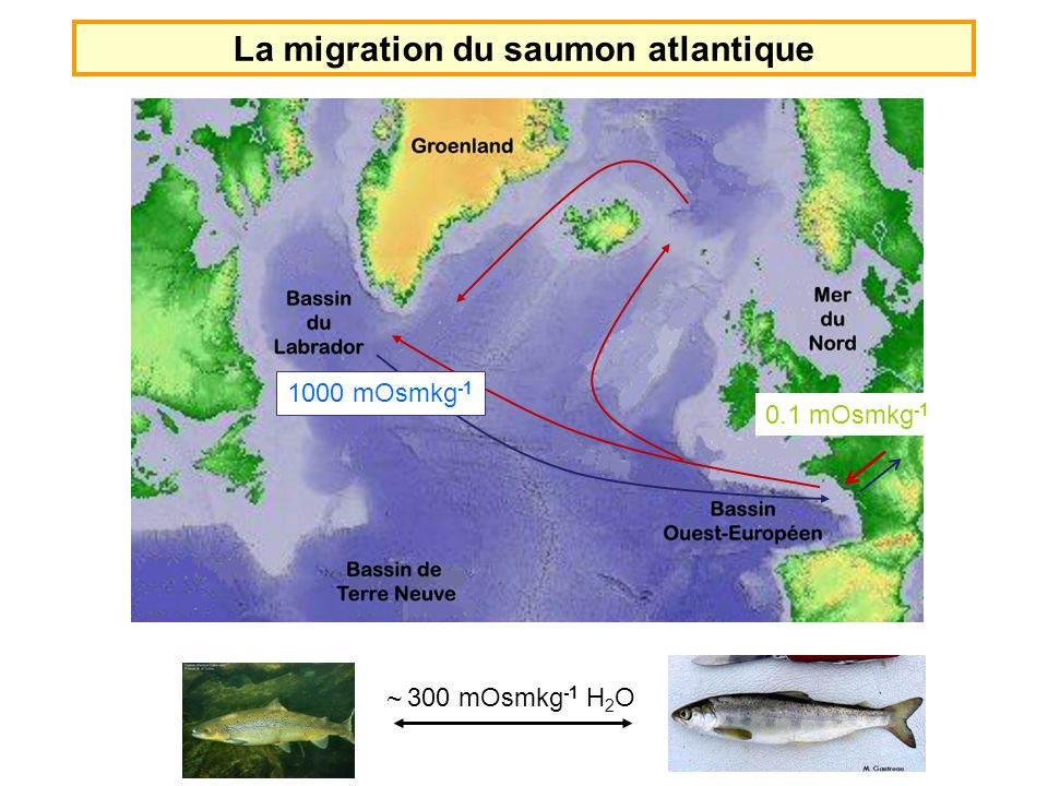 La migration du saumon atlantique