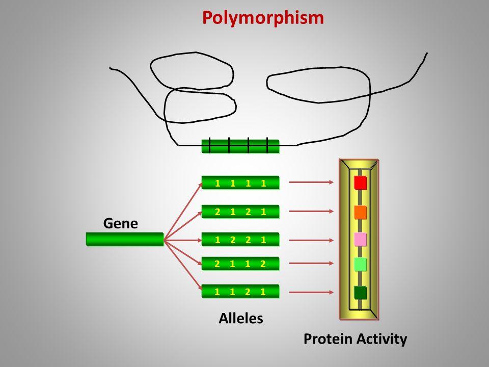 Polymorphism Gene Alleles Protein Activity 1 1 1 1 2 1 2 1 1 2 2 1