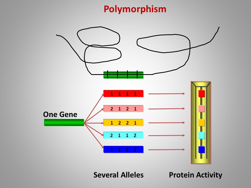 Polymorphism One Gene Several Alleles Protein Activity 1 1 1 1 2 1 2 1