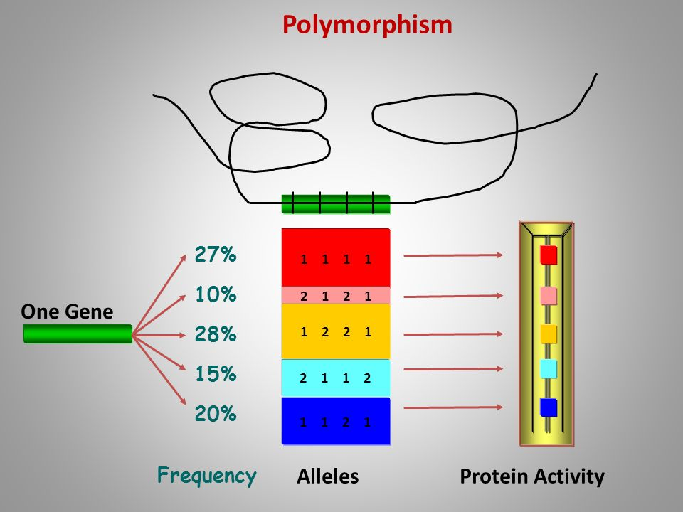 Polymorphism One Gene Alleles Protein Activity 27% 10% 28% 15% 20%
