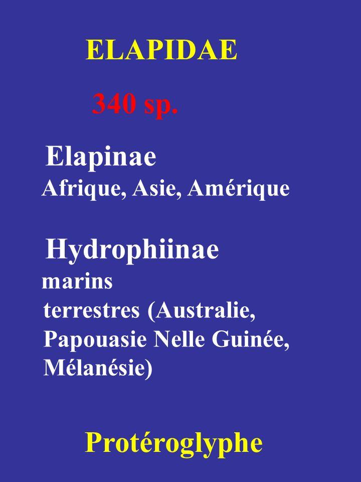 ELAPIDAE 340 sp. Elapinae Hydrophiinae Protéroglyphe