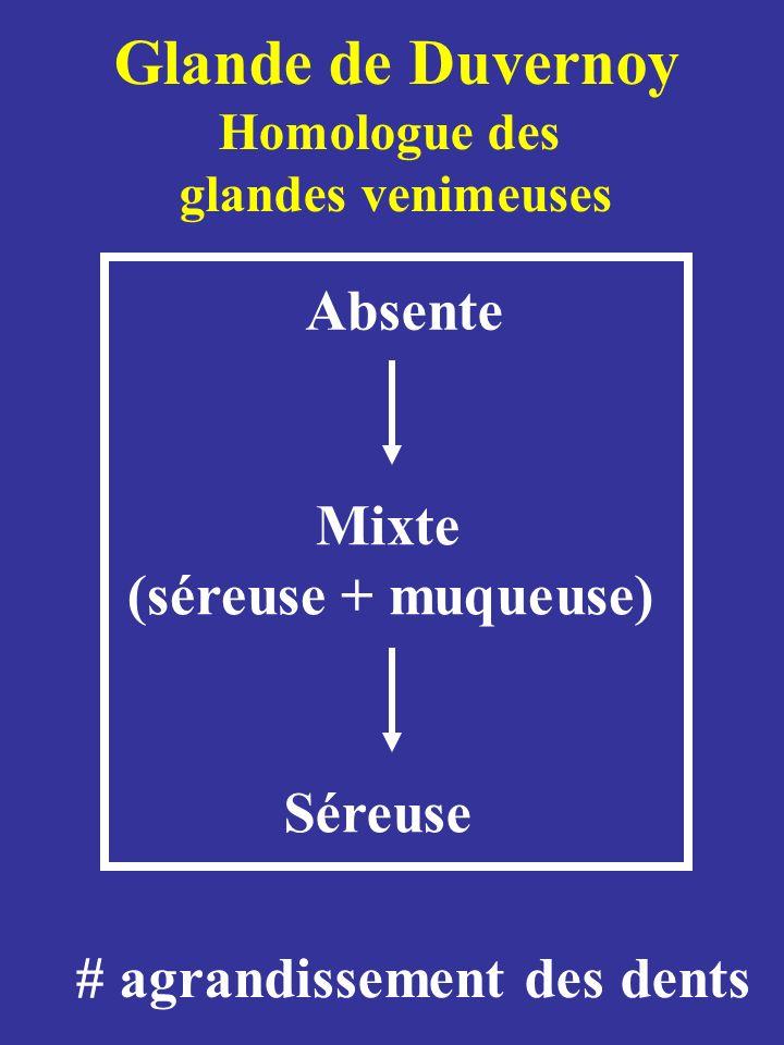 Glande de Duvernoy (séreuse + muqueuse) Séreuse