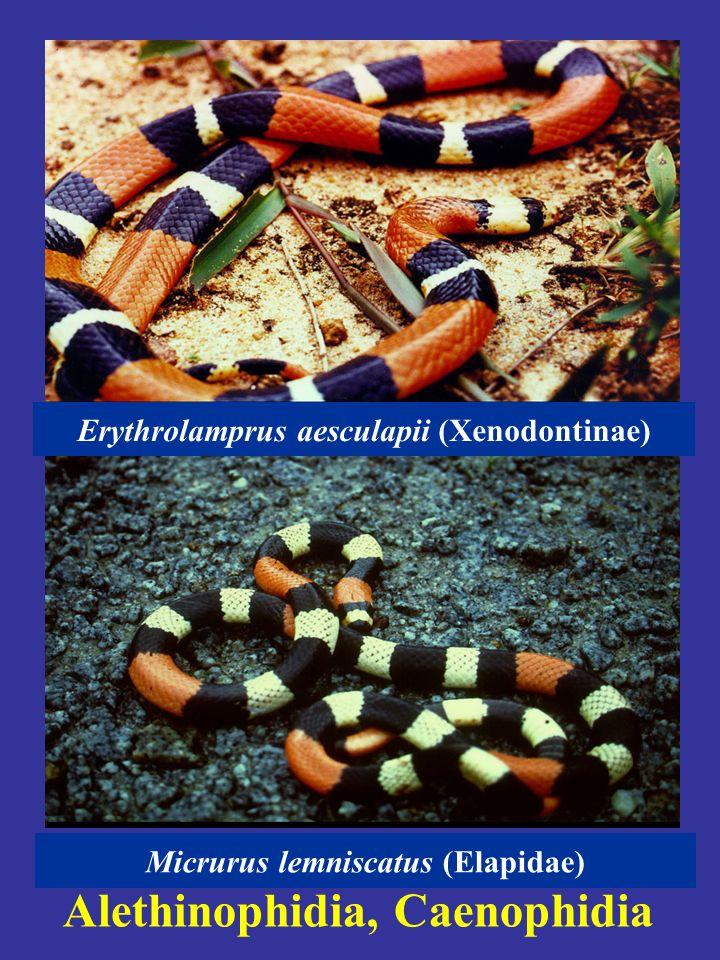 Alethinophidia, Caenophidia