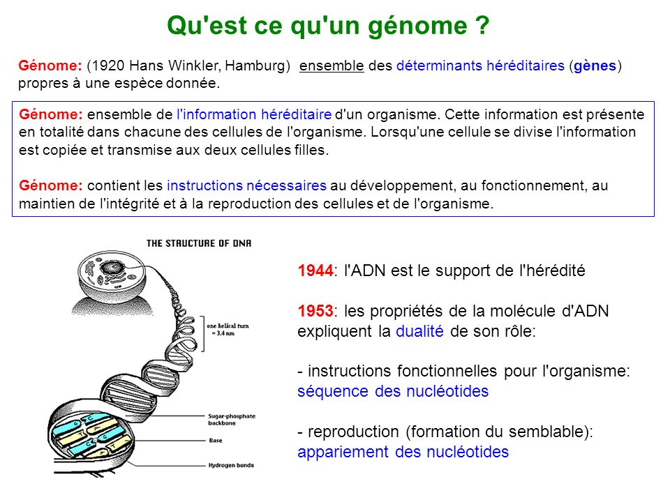 Qu est ce qu un génome 1944: l ADN est le support de l hérédité