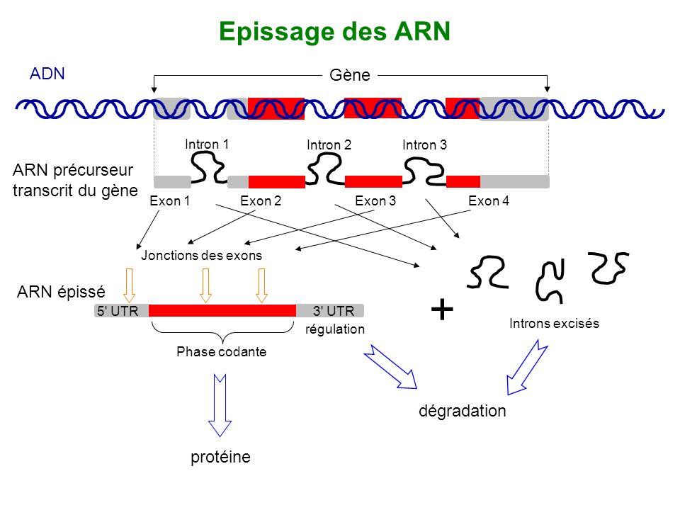 + Epissage des ARN ADN Gène ARN précurseur transcrit du gène
