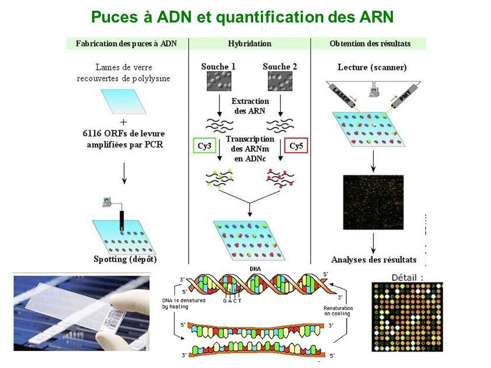 Puces à ADN et quantification des ARN