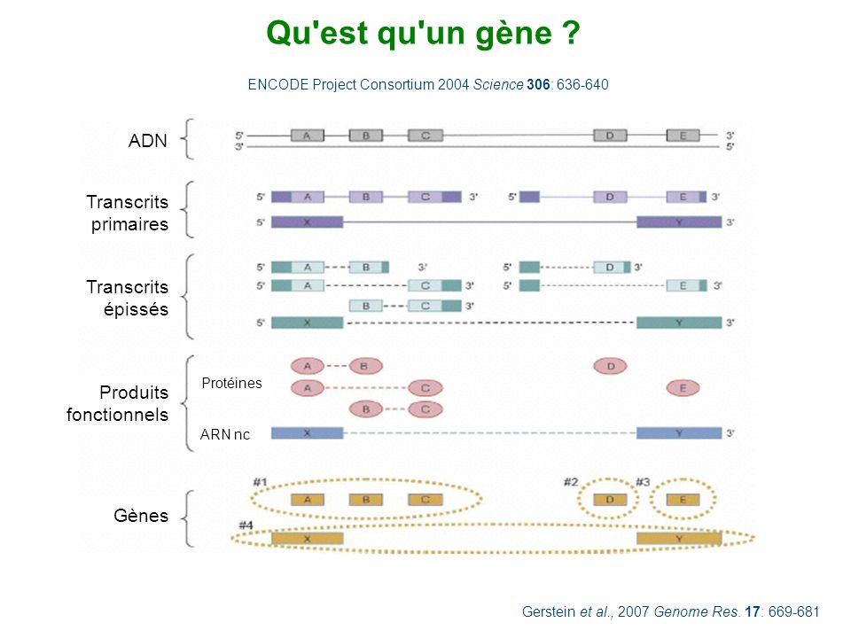 Qu est qu un gène ADN Transcrits primaires Transcrits épissés