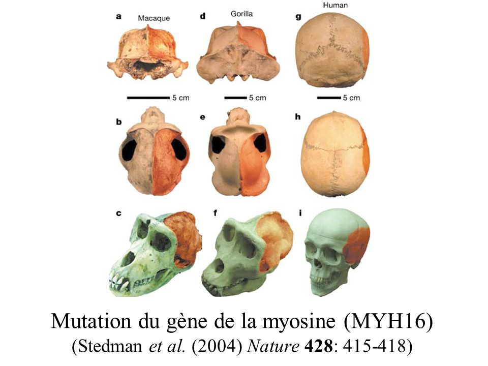 Mutation du gène de la myosine (MYH16) (Stedman et al
