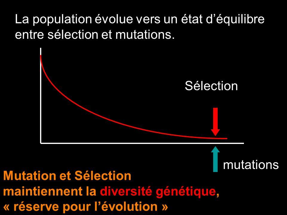 La population évolue vers un état d'équilibre entre sélection et mutations.