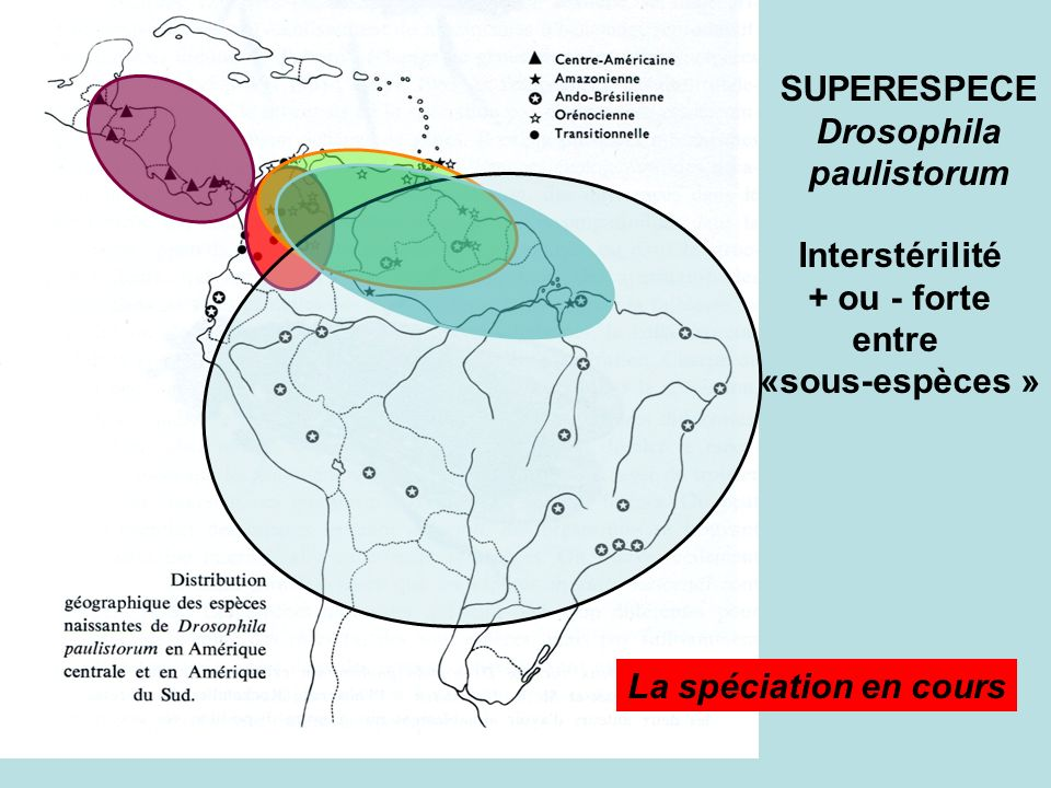 SUPERESPECE Drosophila. paulistorum. Interstérilité.