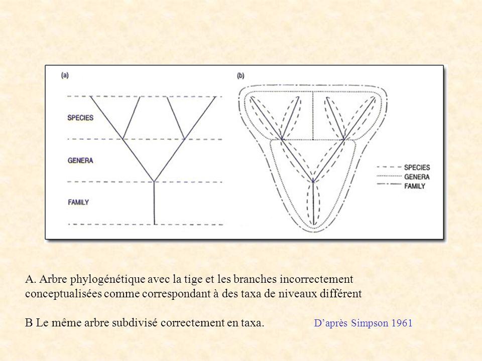 A. Arbre phylogénétique avec la tige et les branches incorrectement