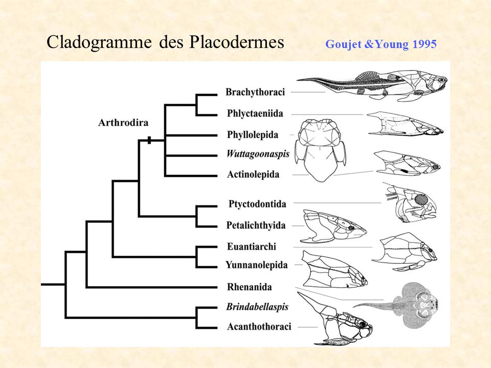 Cladogramme des Placodermes Goujet &Young 1995