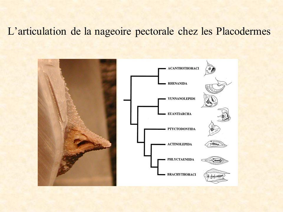 L'articulation de la nageoire pectorale chez les Placodermes
