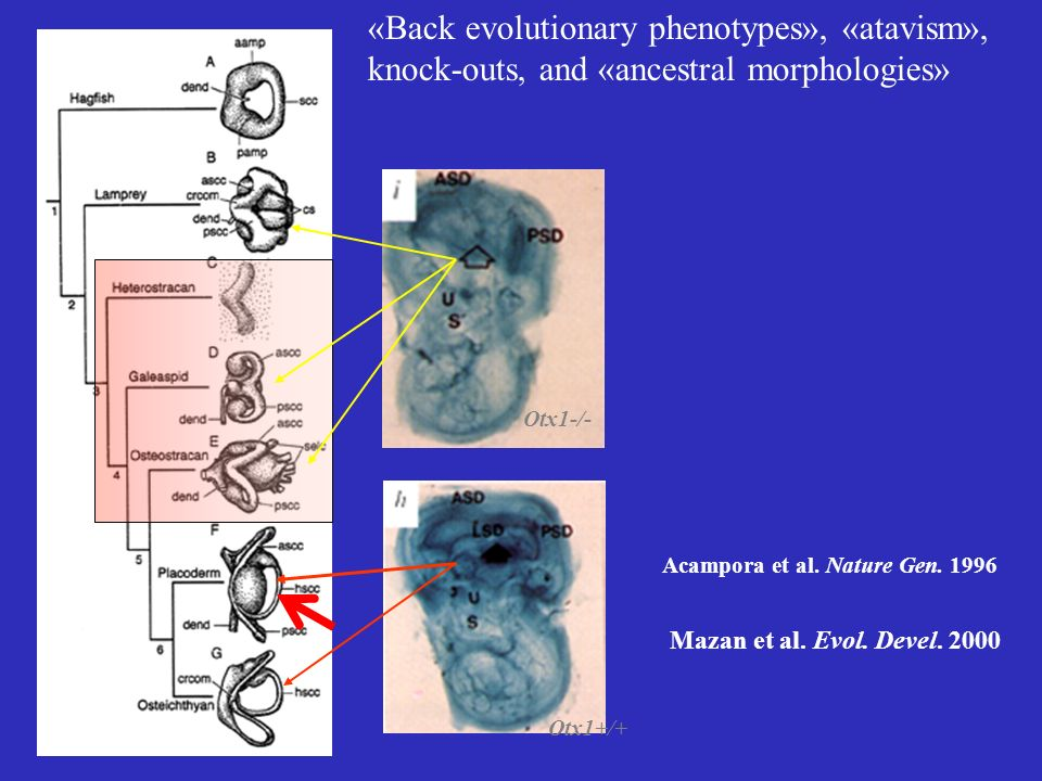 «Back evolutionary phenotypes», «atavism», knock-outs, and «ancestral morphologies»