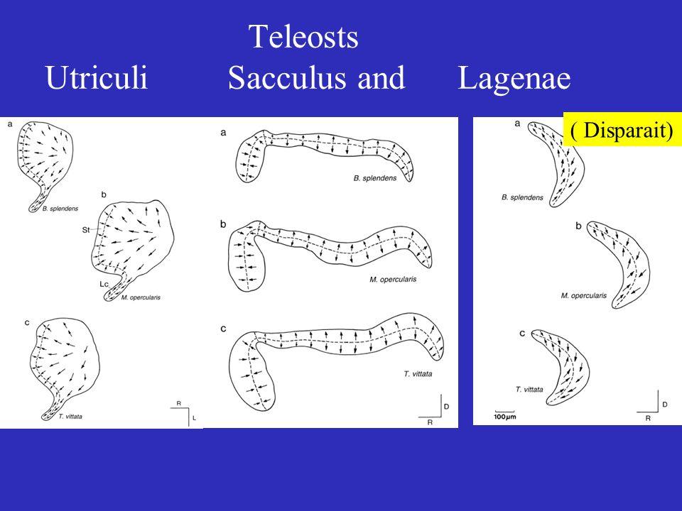 Teleosts Utriculi Sacculus and Lagenae