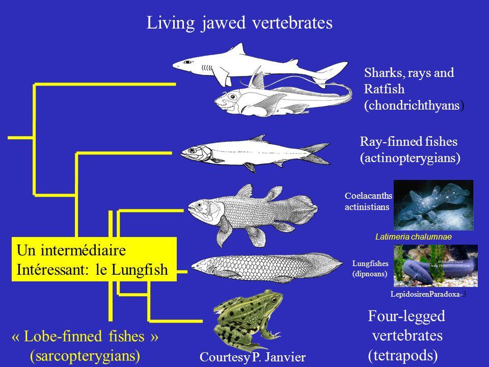 Living jawed vertebrates