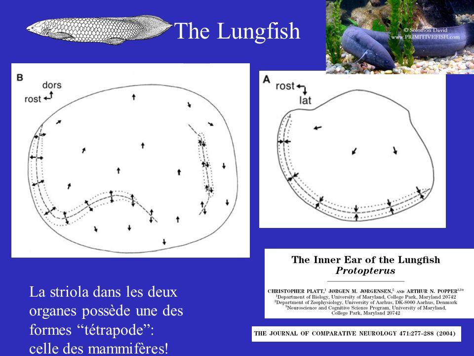 The Lungfish La striola dans les deux organes possède une des formes tétrapode : celle des mammifères!