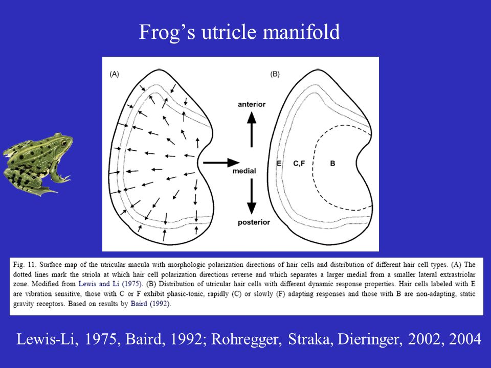 Frog's utricle manifold