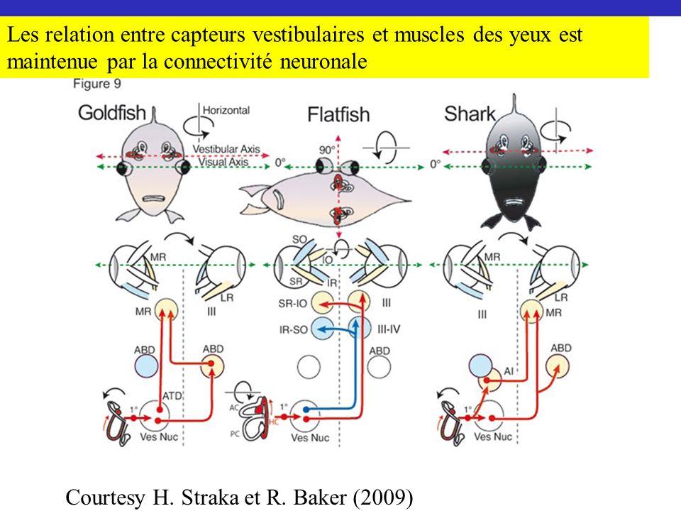 Les relation entre capteurs vestibulaires et muscles des yeux est maintenue par la connectivité neuronale