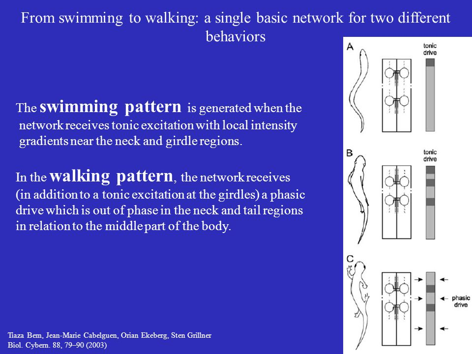 From swimming to walking: a single basic network for two different behaviors