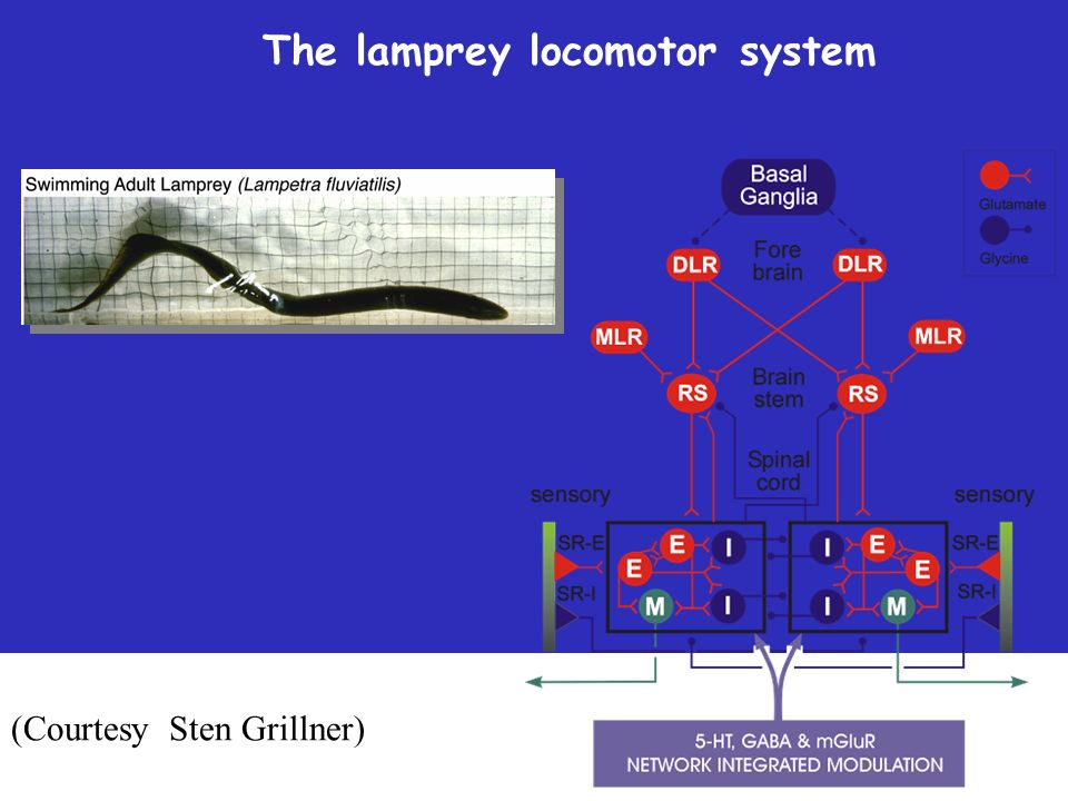 The lamprey locomotor system