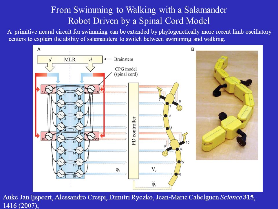From Swimming to Walking with a Salamander Robot Driven by a Spinal Cord Model