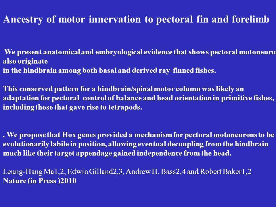 Ancestry of motor innervation to pectoral fin and forelimb